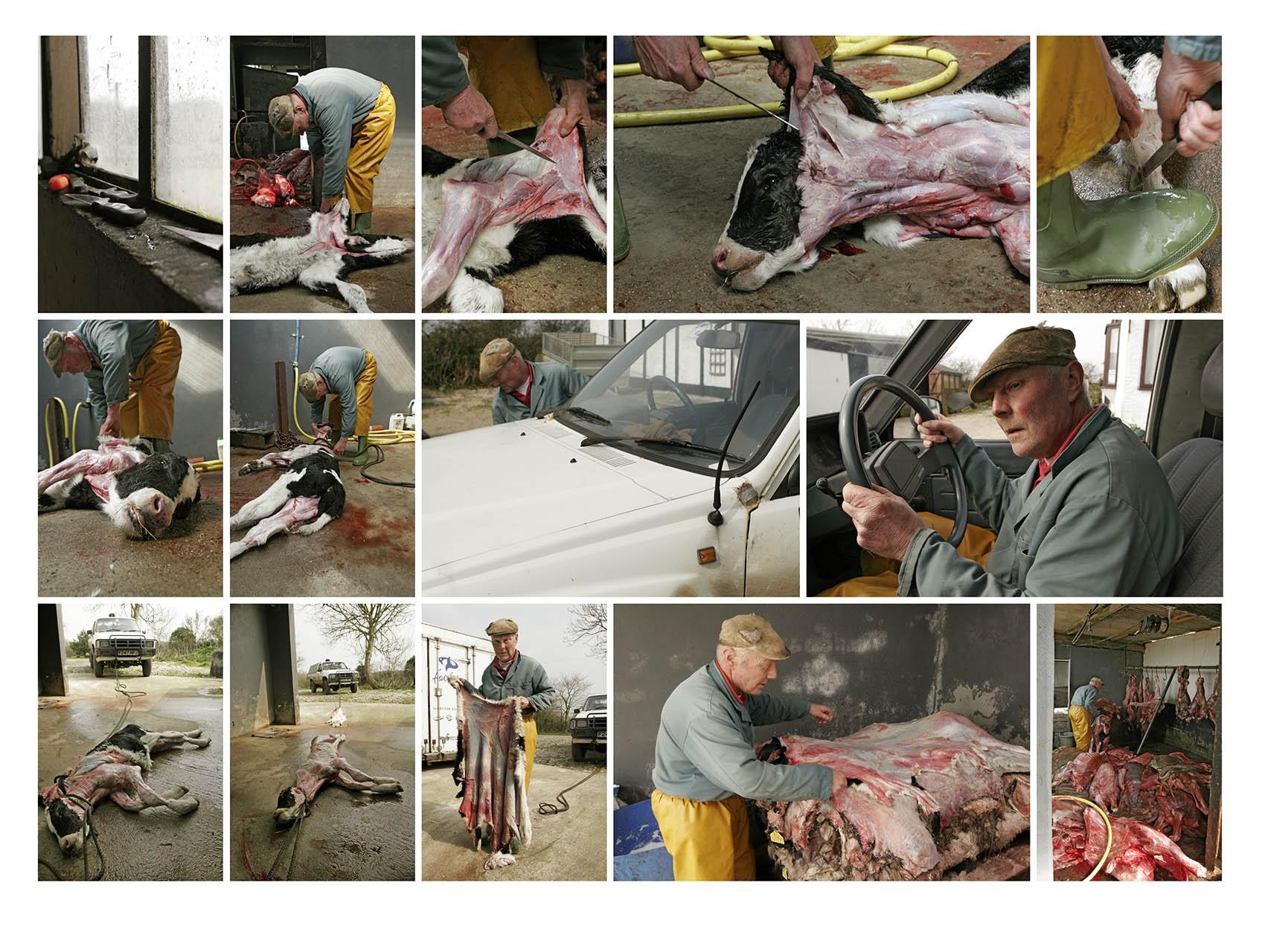 cow skinning
